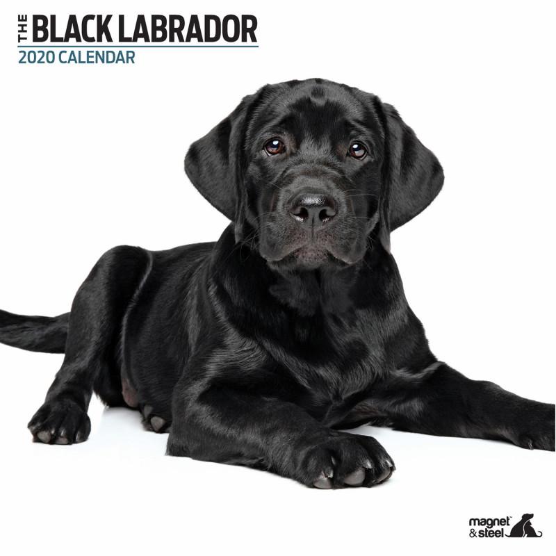 Calendario Black Labrador